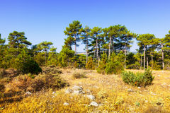 Summer landscape with Pine trees Stock Photo