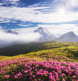 Summer landscape with pink flowers in the mountains Stock Image