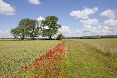 Summer landscape with poppies. Growing by a farm track between fields of wheat under a blue sky with fluffy white clouds Stock Image