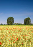 Summer landscape. Poppies and trees behind Stock Photo