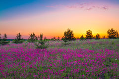 Summer  landscape with purple flowers on a meadow and  sunset Royalty Free Stock Photography