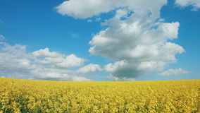 Summer Landscape with Rape Field on the Background stock video footage