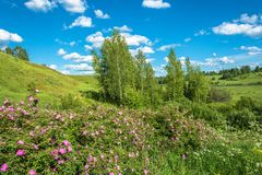 Summer landscape with red flowers. Royalty Free Stock Photo