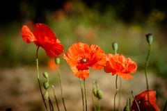 Summer landscape with red poppies. stock images