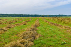 Summer landscape with rows of mown hay Royalty Free Stock Photo