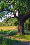 Summer landscape showing giant oak beside country road Royalty Free Stock Image