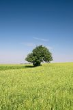 Summer landscape. Single tree on a field Royalty Free Stock Images