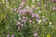 Sow-thistle pink flowering bush in a natural environment, among the wildflowers. Summer landscape. Sow-thistle pink flowering bush in a natural environment stock photos