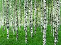 Summer landscape with straight birch trees Stock Photos
