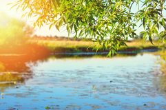 Summer landscape. With willow on the shore of pond in the sunlight royalty free stock photography