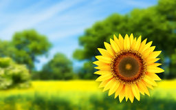 Summer landscape with sunflower Royalty Free Stock Images