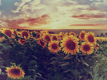 Summer landscape with sunflowers stock image