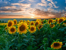 Summer landscape with sunflowers field Royalty Free Stock Photo