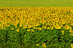 Summer landscape: sunflowers field Royalty Free Stock Photos