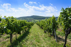 Summer landscape of Tokay vineyard. Vineyard on hill near Sarospatak in Tokay region Hungary. Summer landscape Stock Image