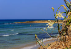 Summer landscape.Torre Guaceto Nature Reserve: Pancratium maritimum, or sea daffodil. BRINDISI Apulia-ITALY- Royalty Free Stock Photos