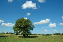 Summer landscape with tree. Summer landscape with alone tree in the meadow Royalty Free Stock Photos
