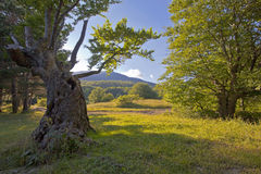 Summer landscape with a tree Royalty Free Stock Photography