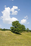 Summer landscape. Tree Royalty Free Stock Images