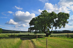 Summer landscape tree Royalty Free Stock Images
