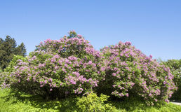 Lilac shrubs Royalty Free Stock Image