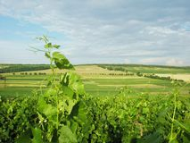 Summer landscape vineyard   Royalty Free Stock Photo