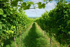 Summer landscape with vineyard and blue sky. Royalty Free Stock Images