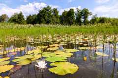 Summer landscape with water lilies Royalty Free Stock Photo