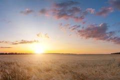 Summer landscape of wheat crop field sunset. Summer landscape of wheat crop field sunse royalty free stock photo