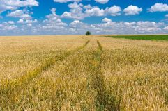 Summer landscape with wheat field Royalty Free Stock Photos