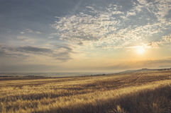 Summer landscape of a wheat field stock photography