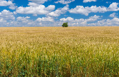 Summer landscape with wheat field and lonely tree Royalty Free Stock Photo