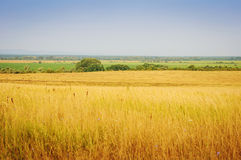 Summer Landscape with Wheat Field a Royalty Free Stock Images