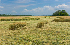 Summer landscape with wheat field that was under strong wind attack Stock Photos