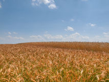 Summer landscape wheat field white clouds blue sunny sky, Poland Stock Photography