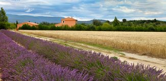 Summer Landscape with Wheat and Lavender field in Provence, sout Stock Photography
