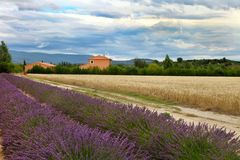 Summer Landscape with Wheat and Lavender field in Provence Stock Photo