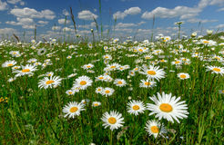 Summer landscape with white daisies on a green meadow. Summer landscape with blooming white daisies on a green meadow in Sunny day Royalty Free Stock Photo