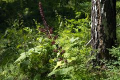 The wild plant of the black false hellebore Veratrum nigrum L. blooms in the forest near the birch, in its natural environment. Summer landscape. The wild plant royalty free stock image