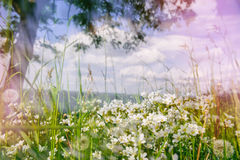 Summer landscape with wild white flowers royalty free stock images