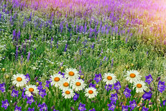 Summer landscape with wildflowers. Royalty Free Stock Photo