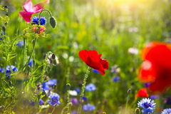 Summer Landscape With A Field Of Red Poppies And Cornflower Stock Images