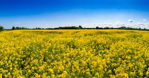 Summer rapeseed field Kent Southern England UK Royalty Free Stock Image