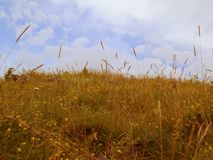 Summer landscape, yellow field under blue sky royalty free stock images