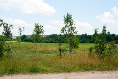 Summer landscape with young birch trees Stock Photography