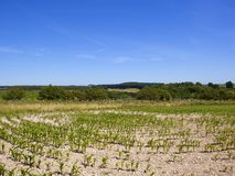Summer landscape with young Maize plants and woodlands. Maize crop on limestone soil with wildflowers and rural scenery near Warter in the Yorkshire Wolds under stock photography