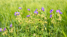 Summer landscape. Young wheat wildflowers Royalty Free Stock Image