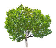 Summer large old isolated oak tree Stock Photos