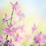 Summer larkspur flowers. Beautiful spring or summer larkspur flowers on creamy bokeh nature background Royalty Free Stock Photography