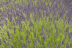 Summer lavender Stock Images